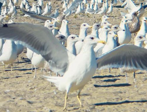 Seagulls – Free Stock